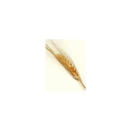 Olej z pšeničných klíčků