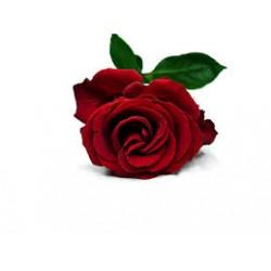 Růže absolue