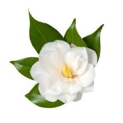 Čajovníkový olej (Kamélie olejná, Camellia Oleifera). lzs