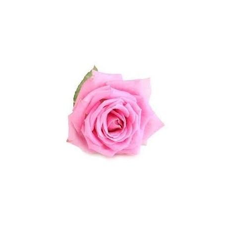 Englisch Rose
