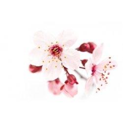 Třešeňový květ, cherry bloosom