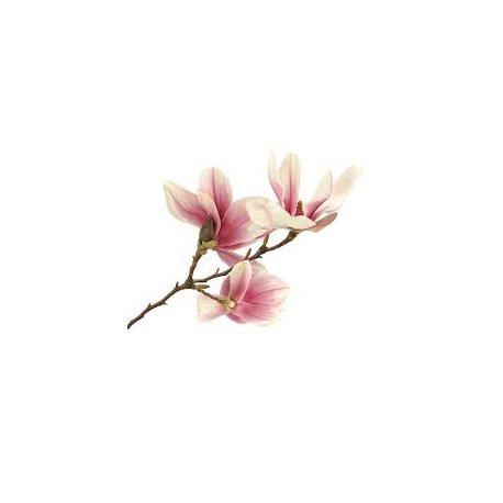 Magnolie  Blumenwasser