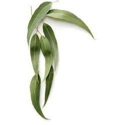 Eucalyptus přírodní silice