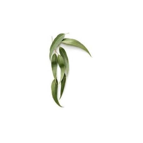 Eukalyptus ätherisches Öl