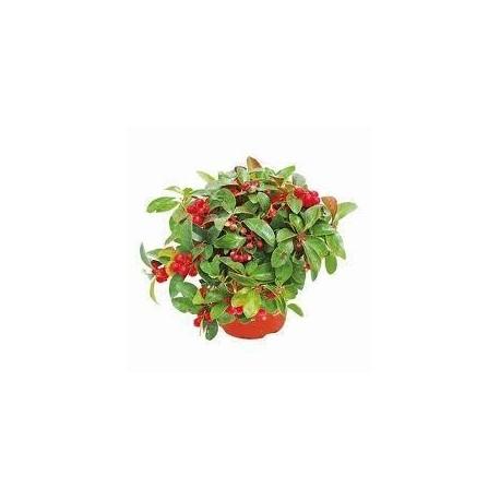 Wintergreen (Wintergrün)