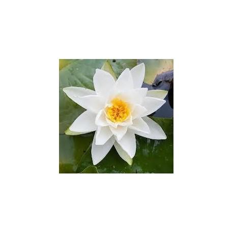 Wasserorchidee (Seerose)