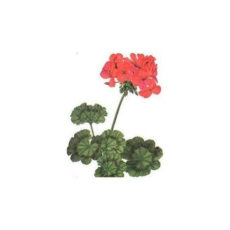Geranium (muškát)