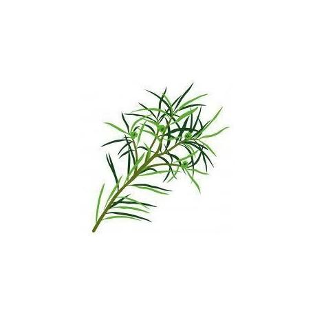 Tee Baum - Tea Tree