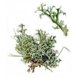 Islandmoos (Cetraria islandica)